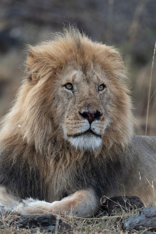 Lions Reign Supreme