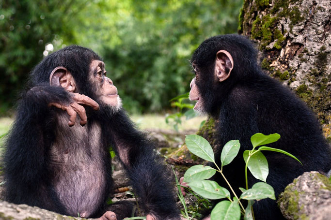 3 Places in Africa Where You Can Easily Spot Chimps