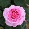 Rosa 'Mum in a Million'